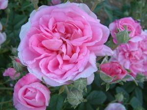 Rose d'Ispahan