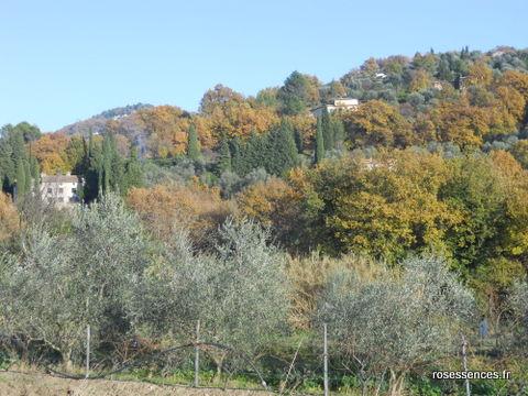 les oliviers en automne