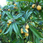 plantes sauvage, mat kim ,maison nefle,legumes 2011 126